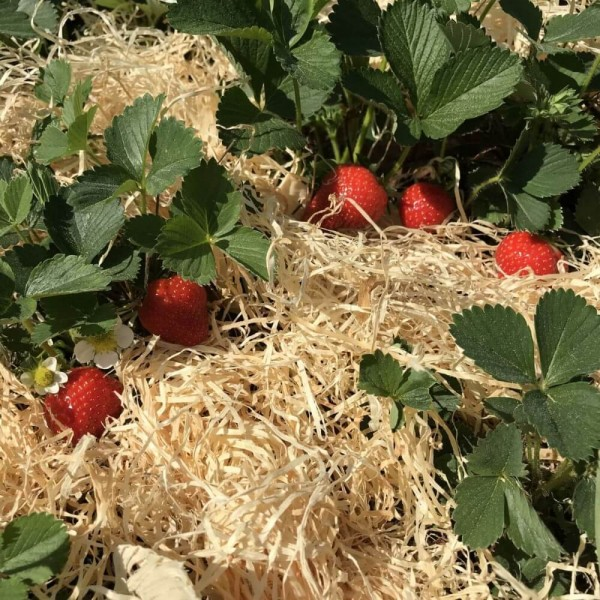 1 kg Gemüsewolle *Gartenholzwolle* Erdbeerwolle 100% natur für den *Biogärtner*